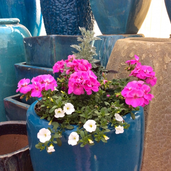 Pink-Geranium-in-Blue-Pottery-Pot