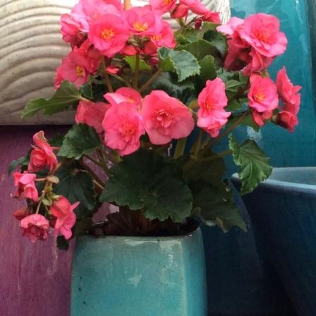 Evie-Pink-Begonia