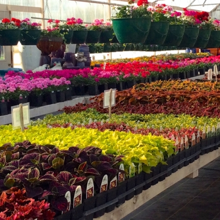 Greenhouse-showing-Coleus-and-Geranium-selection
