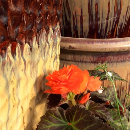 Orange-Begonia-with-gorgeous-pot-in-background