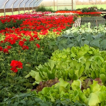 Red-Geraniums-in-Greenhouse-with-Salad-Bowls-in-foreground