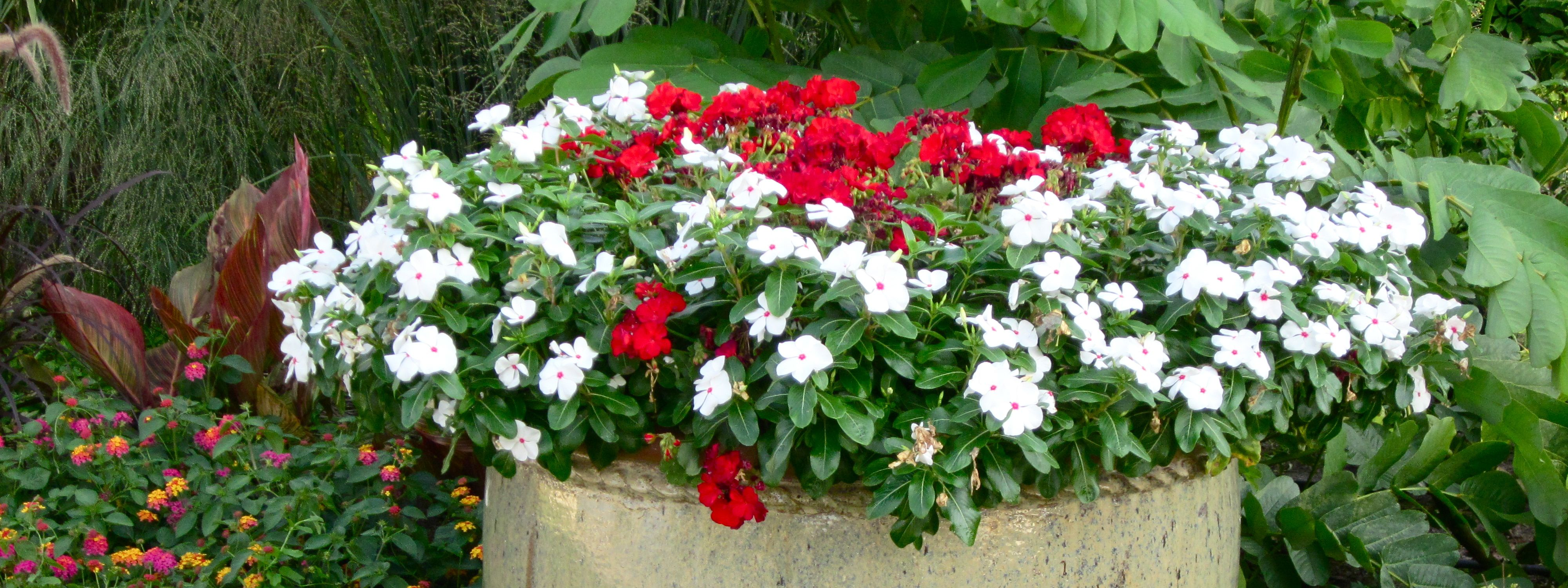Geraniums and Vinca in large pottery pot