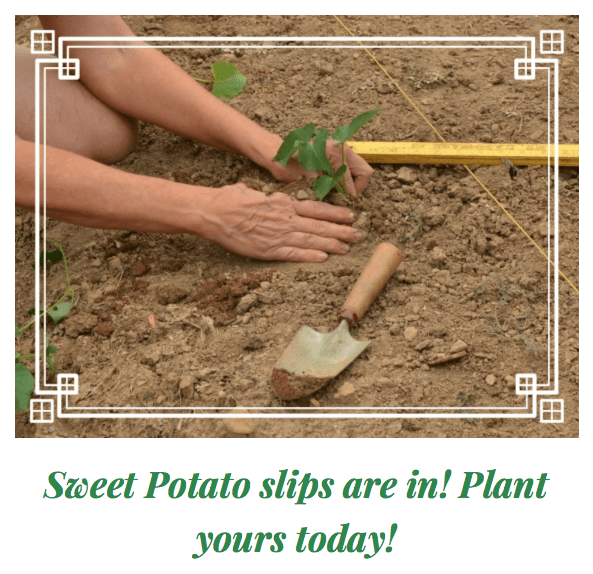 Sweet Potato slips are in! Plant yours today!